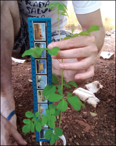 Measuring Moringa seedling