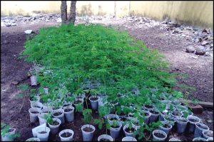 Moringa seedlings in containers