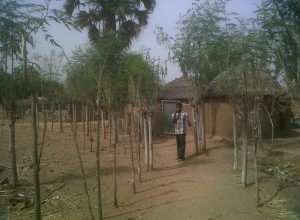 A road path with Moringa trees